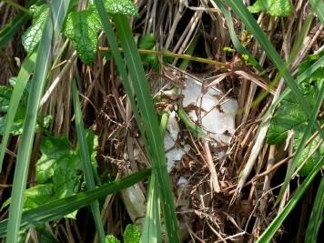 モリアオガエルの卵